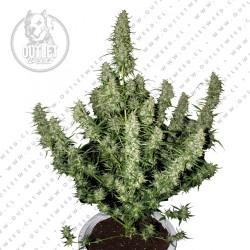 Semillas | Magnum | Auto | 3 semillas | Buddha Seeds