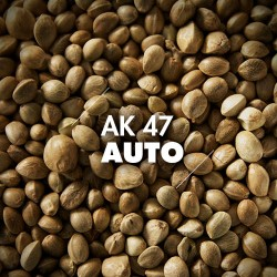 Semillas | AK-47 | Auto | 10 semillas | Granel