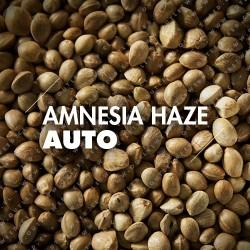 Semillas | Amnesia Haze | Auto | 10 semillas | Granel