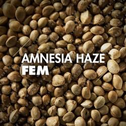 Semillas | Amnesia Haze | Fem | 10 semillas | Granel