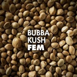 Semillas | Bubba Kush | Fem | 10 semillas | Granel