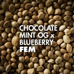 Semillas | Chocolate Mint OG x Blueberry | Fem | 10 semillas | Granel