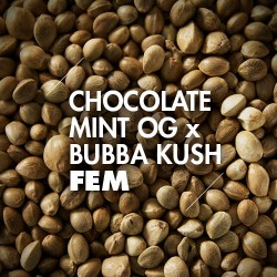 Semillas | Chocolate Mint OG x Bubba Kush | Fem | 10 semillas | Granel