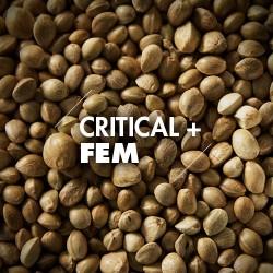 Semillas | Critical + | Fem | 10 semillas | Granel