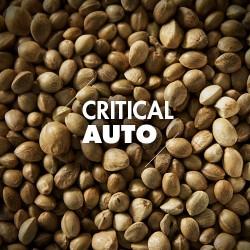 Semillas | Critical | Auto | 10 semillas | Granel