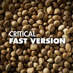 Semillas | Critical | Fast Version | 10 semillas | Granel
