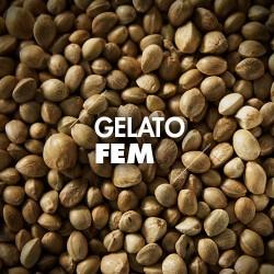 Semillas | Gelato | Fem | 10 semillas | Granel