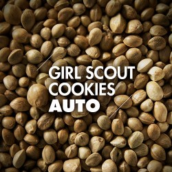 Semillas | Girl Scout Cookies | Auto | 10 semillas | Granel