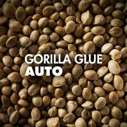 Semillas | Gorilla Glue | Auto | 10 semillas | Granel