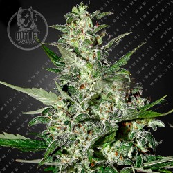 Semillas | Super Critical | Auto | 3 semillas | Green House Seed