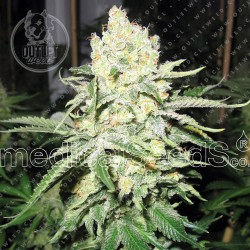 Semillas | No Name | Fem | 3 semillas | Medical Seeds