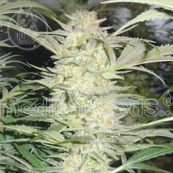 Semillas | White Widow | Fem | 3 semillas | Medical Seeds