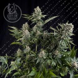 Semillas | White Widow | Auto CBD | 3+1 semillas | Pyramid Seeds