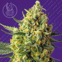 Semillas | Crystal Candy XL | Auto | 3+1 semillas | Sweet Seeds