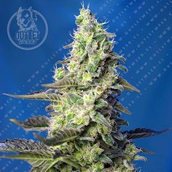 Semillas | Green Poison XL | Auto | 3+1 semillas | Sweet Seeds