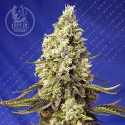 Semillas | Runtz XL | Auto | 3+1 semillas | Sweet Seeds