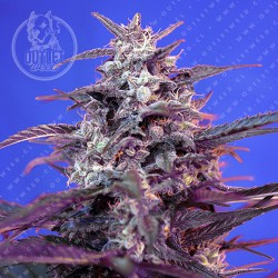 Semillas | Bloody Skunk | The Red Family | Auto | 3+1 semillas | Sweet Seeds