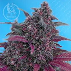 Semillas | Dark Devil | The Red Family | Auto | 3+1 semillas | Sweet Seeds