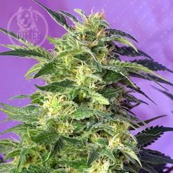 Semillas | Killer Kush | Auto | 3+1 semillas | Sweet Seeds