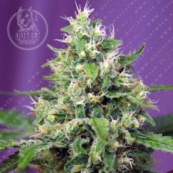 Semillas | Sweet Amnesia Haze XL | Auto | 3+1 semillas | Sweet Seeds