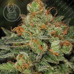 Semillas | Bubblegum | Fem | 2 semillas | T.H. Seeds