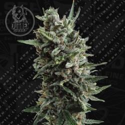 Semillas | Critical Hog | Auto | 2 semillas | T.H. Seeds